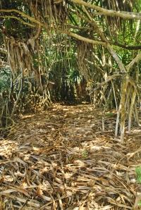 Dry pandanus leaves litter the forest floor