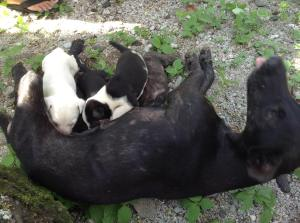Kele and her pups. Photo from Jackie. http://talofalavaamericansamoa.wordpress.com/
